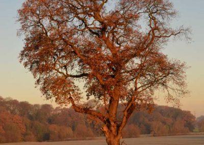 Goldern Tree