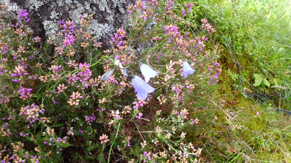 heather-and-harebell