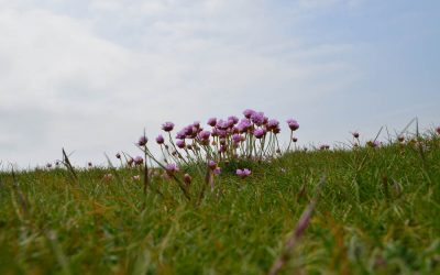 Wild Flowers on The Pembrokeshire Coastal Path in May