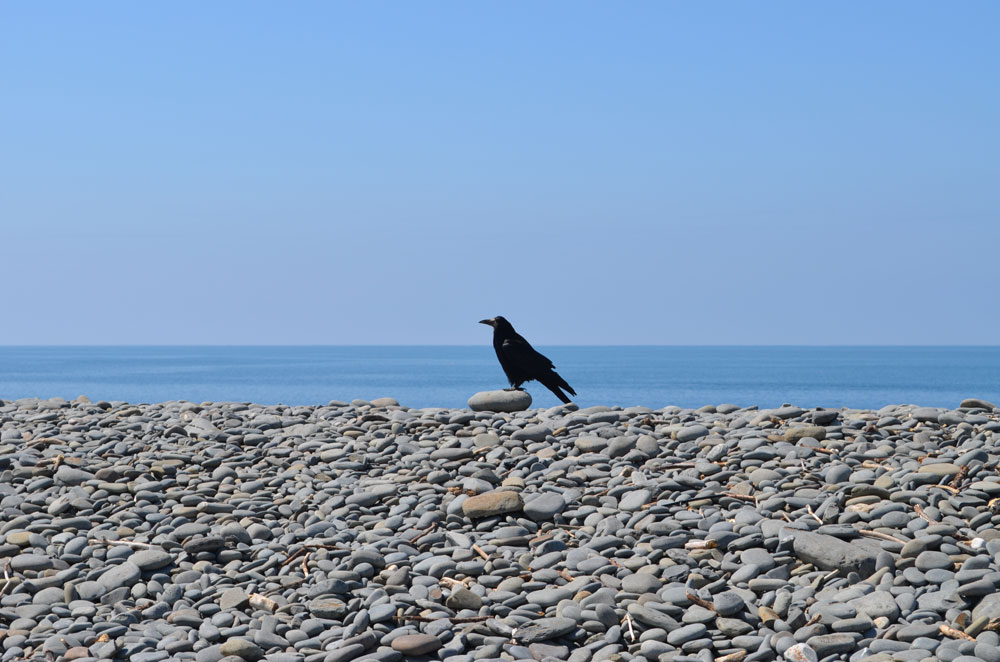 A Crow in Aberaeron