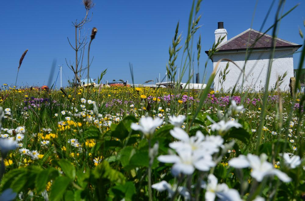 Wild Flowers in Aberaeron